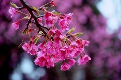 Sakura is blooming during the winter months of Thailand. Between December and January every year at Doi Ang Khang, Fang, Chiang Mai, Thailand stock photo