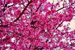 Sakura is blooming during the winter months of Thailand. Between December and January every year at Doi Ang Khang, Fang, Chiang Mai, Thailand royalty free stock image