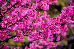 Sakura is blooming during the winter months of Thailand. Between December and January every year at Doi Ang Khang, Fang, Chiang Mai, Thailand stock photography
