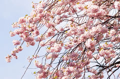 Sakura blooms Royalty Free Stock Photos