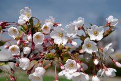 Sakura blooms Royalty Free Stock Photography