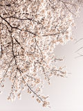 Sakura blooms Royalty Free Stock Photo