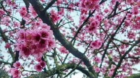Sakura Blossom royaltyfri fotografi