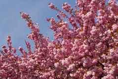 Sakura Blossom Royalty Free Stock Photos