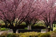Sakura Blossom. Pink sakura cherry tree in bloom Stock Photos