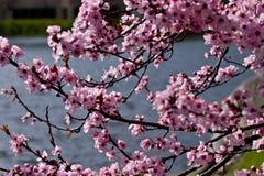 Sakura Blossom. Pink sakura cherry tree in bloom Stock Images