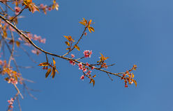 Sakura Blossom Lizenzfreie Stockfotos