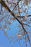 Sakura Blossom Images stock