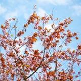 Sakura Blossom Photos stock