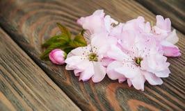 Sakura Blossom Arkivbild