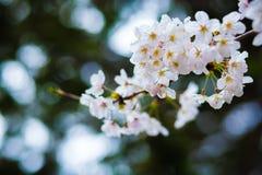 Sakura Blossom Stockfotos