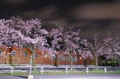 Sakura Blossom Stock Afbeeldingen