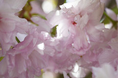 Sakura Blossom Stockfoto
