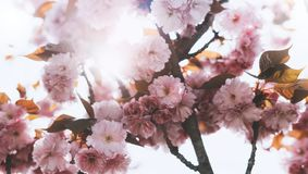 Sakura blossom on background sun flare, macro pink cherry tree in spring garden, beautiful romantic flowers for card clean space. For text, blooming flora royalty free stock image