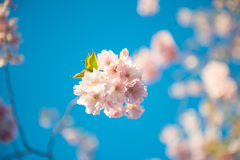 Sakura blossom and blue color of sky Royalty Free Stock Images