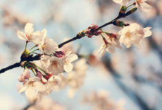 Sakura blossom branch Royalty Free Stock Images