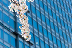 Sakura blossom in a branch with business building behind Royalty Free Stock Image