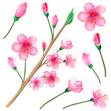 Sakura blossom branch set Stock Photos