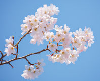 Sakura in blossom Royalty Free Stock Photography