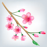 Sakura blossom branch Stock Photos