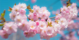 Sakura blossom - brunch with soft pink flowers of Japan cherry Royalty Free Stock Images