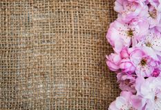Sakura blossom on a burlap background Royalty Free Stock Image