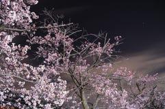 Sakura Blossom Royalty Free Stock Images
