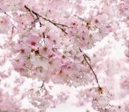 Sakura blossom Royalty Free Stock Photography