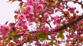 Sakura Blossom con las flores rosadas almacen de video