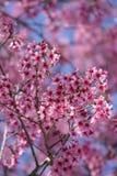 Sakura blossom in dalat vietnam royalty free stock image