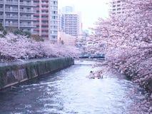 Sakura& x28; Blossom& x29 della ciliegia; immagine stock libera da diritti