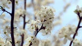 Sakura Blossom Fiori sull'albero sbocciante in primavera Fiori della ciliegia sull'albero archivi video