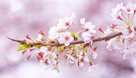 Sakura blossom Royalty Free Stock Photos