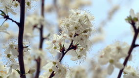 Sakura blossom. Flowers on blossoming tree in spring. Cherry flowers on tree. Branch. Spring blossom. Closeup. Blue sky. Flower blooming on tree branch. Bunch stock video