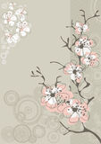 Sakura blossom on gray. Background Royalty Free Stock Images