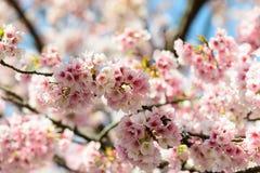 Sakura blossom. Sakura having been blossom in pink Stock Image