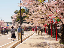 Sakura blossom at Hikone , Japan 2 Stock Photography