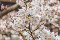 Sakura blossom in Japan Stock Photos