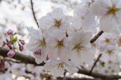 Sakura blossom in Japan Stock Image