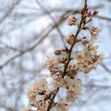 Sakura blossom in Japan Royalty Free Stock Photo