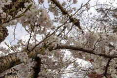 Sakura blossom in Japan Royalty Free Stock Images