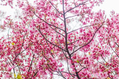 Sakura blossom in Japan Royalty Free Stock Photography