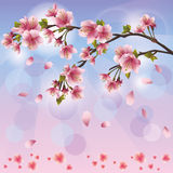 Sakura blossom - Japanese cherry tree. Spring background with sakura blossom - Japanese cherry tree, greeting or invitation card Royalty Free Stock Photography