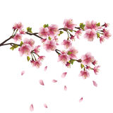 Sakura blossom - Japanese cherry tree. Sakura blossom pink - Japanese cherry tree with flying petals isolated on white background. Vector illustration vector illustration