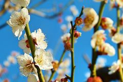 Sakura blossom - Japanese cherry tree. Sakura Flower or Cherry Blossom with blue sky Stock Photos