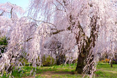 Sakura blossom or Japanese cherry tree Royalty Free Stock Photos