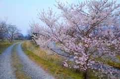 Sakura blossom or Japanese cherry tree Royalty Free Stock Photography