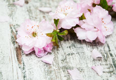 Sakura blossom on a old wooden background Royalty Free Stock Image