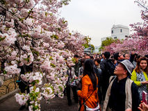 Sakura blossom at Osaka, Japan 1 royalty free stock photography