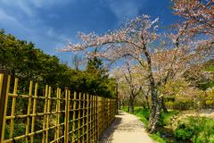 Sakura blossom at Oshino Hakkai village. Footpath to sightseeing sakura or cherry blossom garden around the canal of Oshino Hakkai village during spring in Stock Image